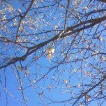 なぐさめの桜