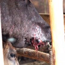 警戒区域牛たちの黙示…