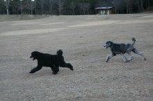 = My Standard Poodles Story =-STIL0098.jpg