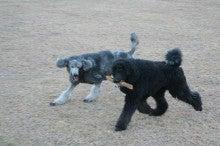= My Standard Poodles Story =-STIL0096.jpg