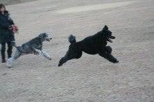 = My Standard Poodles Story =-STIL0097.jpg