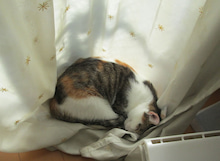 $キジトラ三毛の思うツボ-かえで窓辺でお昼寝