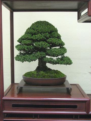 裏庭の盆栽棚から-hinoki