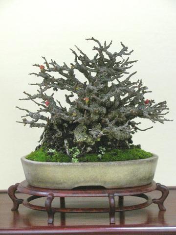 裏庭の盆栽棚から-tyoujyubai