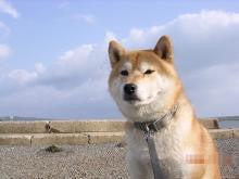 $柴犬カイとカイパパのページ