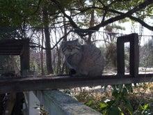 鴻巣の整体院ささき 整体よもやま話-マヌルネコのハニー