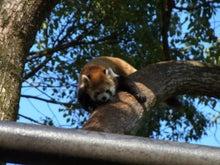 鴻巣の整体院ささき 整体よもやま話-レッサーパンダ