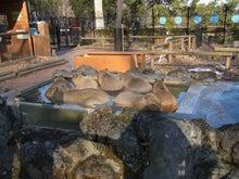 鴻巣の整体院ささき 整体よもやま話-カピバラ温泉