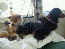 アニマルエステ美犬(ビーワン) うちのお犬・お猫様が一番!!-1358667428562.jpg