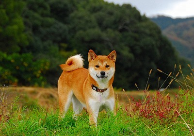 ~柴犬こてつ春夏秋冬~