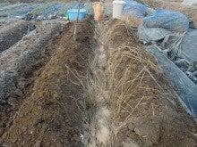 耕作放棄地を剣先スコップで畑に開拓!週2日家庭菜園有機野菜栽培の記録     byウッチー-130129ジャガイモ跡地の畝間深掘り作業と畝間施肥05