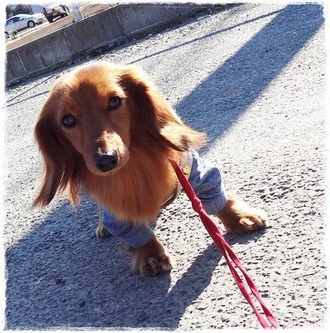 旅犬Lani&Leaのほほん風船記-いちご狩り