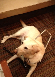 $ひろみちゃんと10pooのおきらくブログ-盲導犬 オスカー ステイ