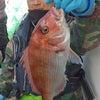 良型真鯛&4.5kgの・・・!!の画像