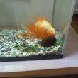 金魚があおむけで昼寝…