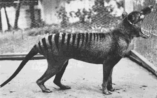 タスマニア島のフクロオオカミ、...