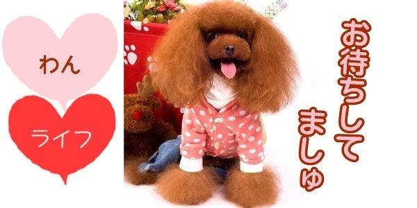 犬服、ダックス服のわんライフのブログ-わんライフのプードルちゃん