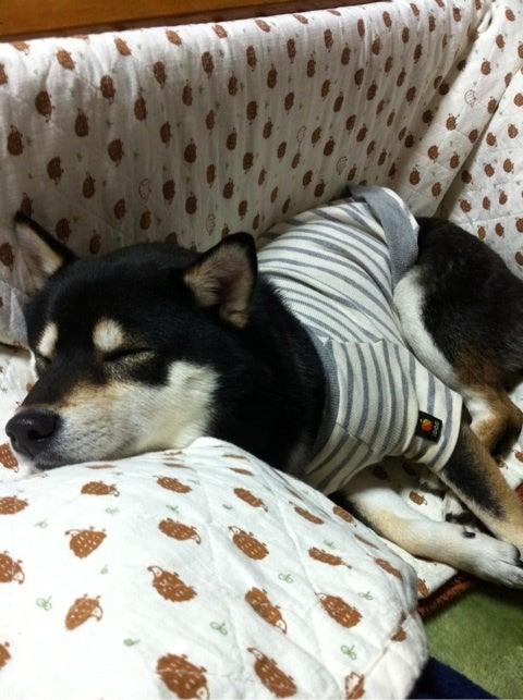 柴犬 毛色 クリーム