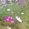 春なのにコスモスがの画像