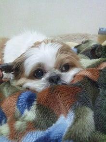 シーズー犬~がちゃぴんの日々~-121210_224850.jpg