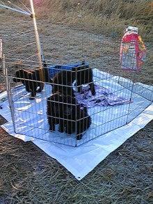 = My Standard Poodles Story =-DVC00372.jpg