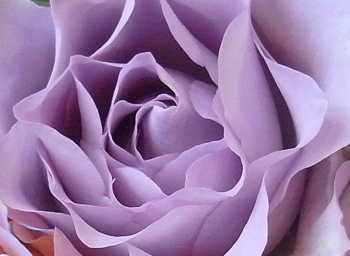 紫 の バラ 花 言葉