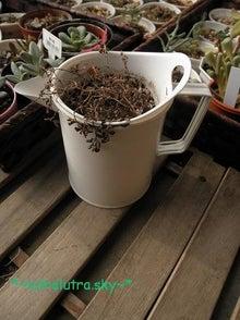 買ってすぐにダイソーで買った小さい素焼き鉢に植え替えておいたピレア。