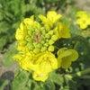 菜の花de春本番の画像