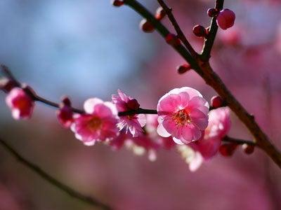 $ルナシャイン・輝☆ブログ-梅の花