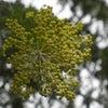 3月8日はミモザの日の画像