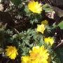 福寿草の花が咲いてい…