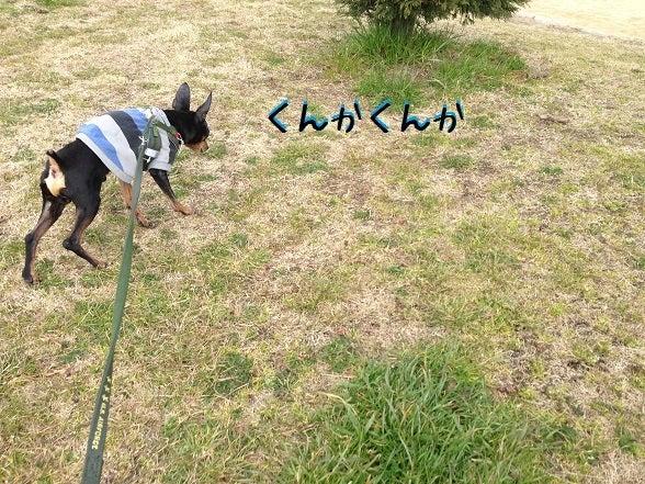 ミニピン!!! 大和!!! 武蔵!!!-2013.03.05-2