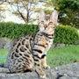ヒョウ柄の猫、ベンガ…