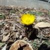 ここにも春がの画像
