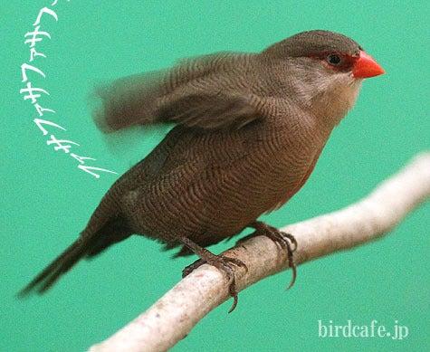 ようこそ!とりみカフェ!!~鳥カフェでの出来事や鳥写真~-乾かしカエデチョウ