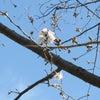 狩野川さくら公園の桜開花状況の画像