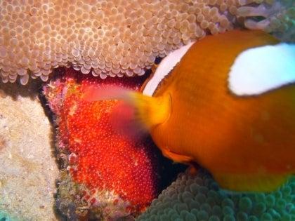 西表島ダイビング あべちゃん海ブログ  「にこにこダイビング」-とうあか卵