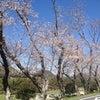 狩野川さくら公園の桜の画像
