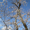 狩野川さくら公園の桜は満開近いです。の画像