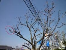 内山家具 スタッフブログ-20130323さくらB