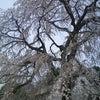 本日の龍源院しだれ桜 3月24日の画像