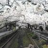 桜ぁ~さぁ~くぅらぁ~(^○^)♪の画像