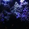 伊豆三津シーパラダイスの桜?の画像