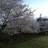 狩野川リバーサイドパークの桜の画像