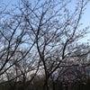 源氏山公園の桜の画像