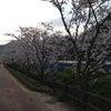 江間いちご狩りセンター付近の桜の画像