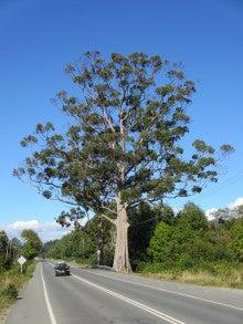LUCHOの私的チリ潜入記-大きな木