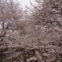 2013年 千本桜で…