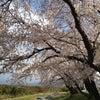 3月26日の狩野川さくら公園の画像