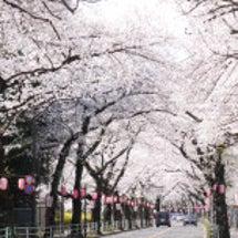 今年も桜の季節が来ま…